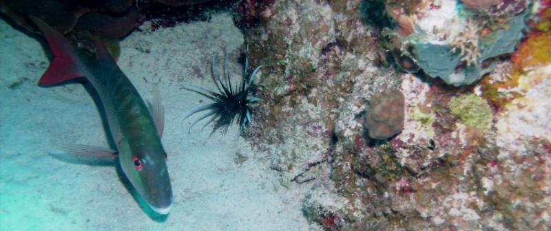 Snapper and Lion fish at Arm Chair Reef