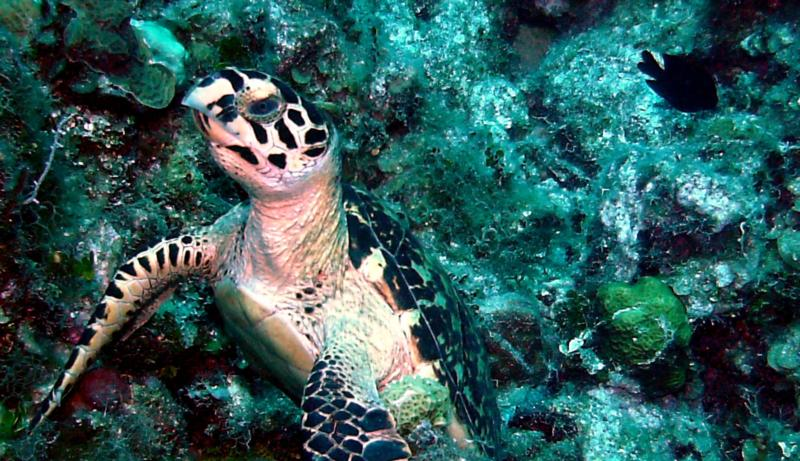 Sea Turtle at Royal Palms Reef - Grand Cayman