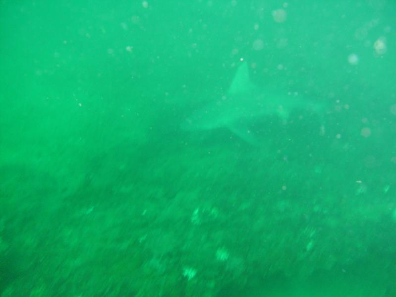 same Bull shark, Destin