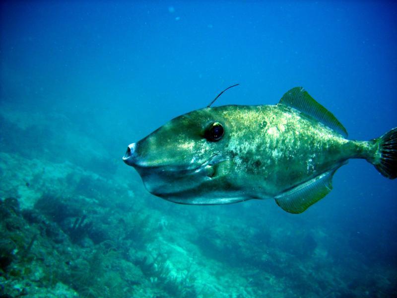 Unicorn Trigger Fish Ft Lauderdale Florida Scuba Diving