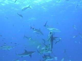 Black Beard's Shark Feed Oct. 2003