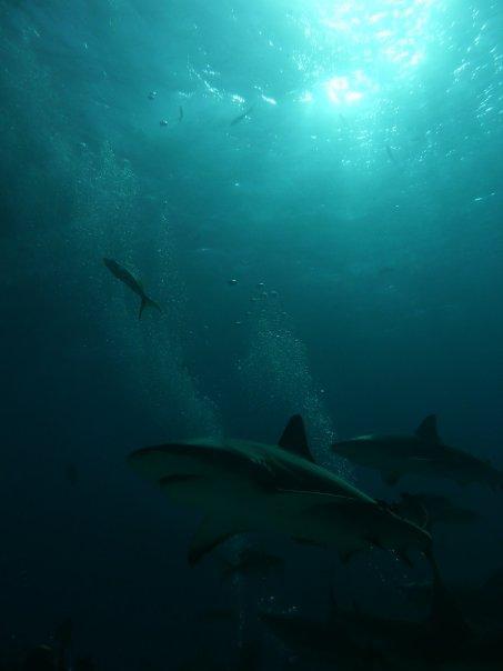 Nassau sharks
