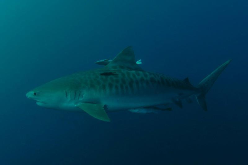 Tiger Shark 1