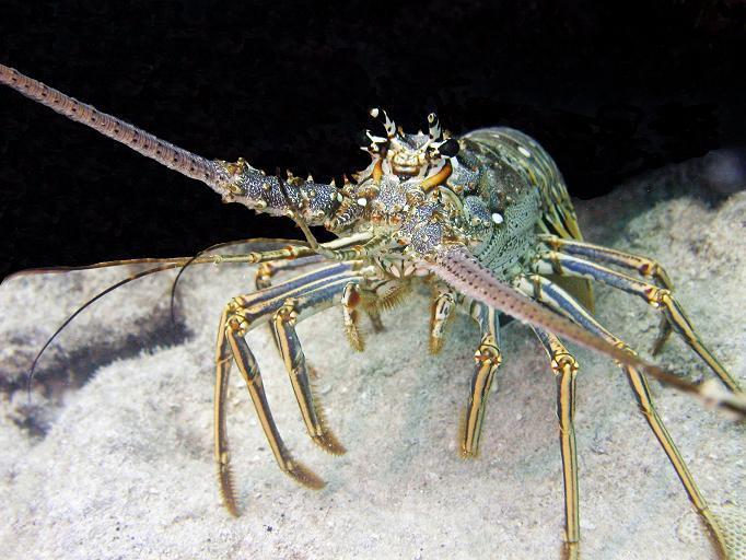 Lobster - Marker 30 - Key West, FL
