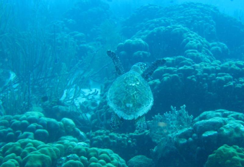 Hawksbill Turtle, Bonaire, 2010