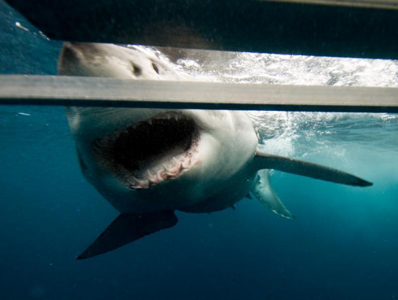 Shark Approaching Cage, Australia