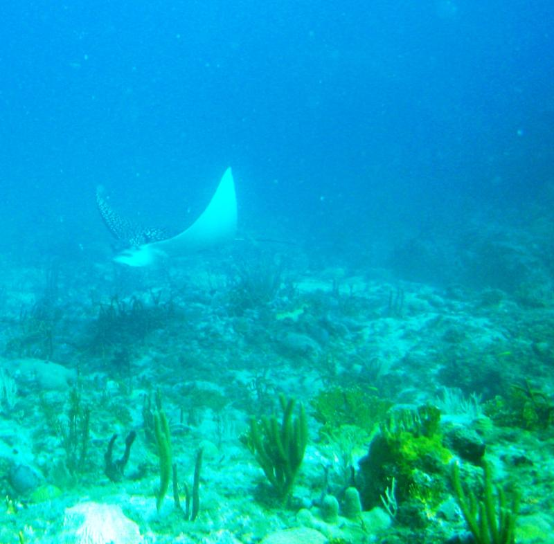 St. Thomas, USVI - Spotted Eagle Ray