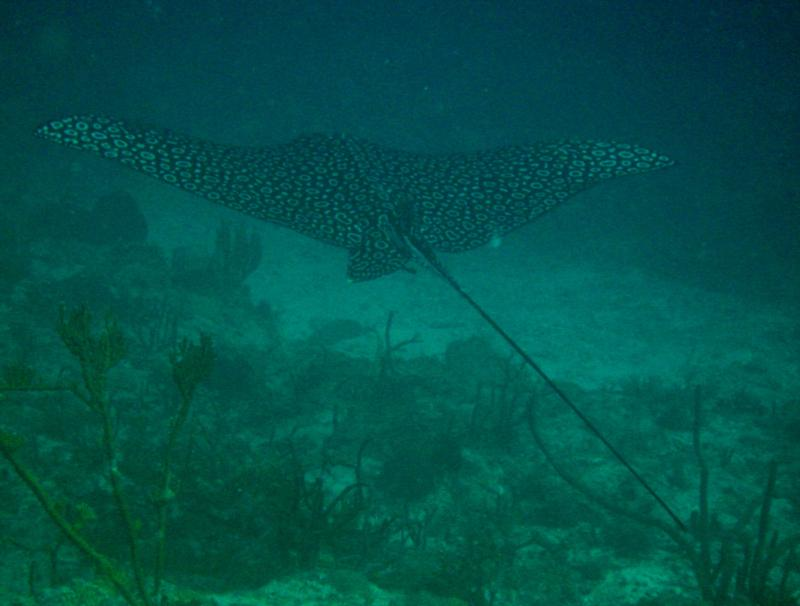 Spotted eagle ray in St. Thomas, USVI