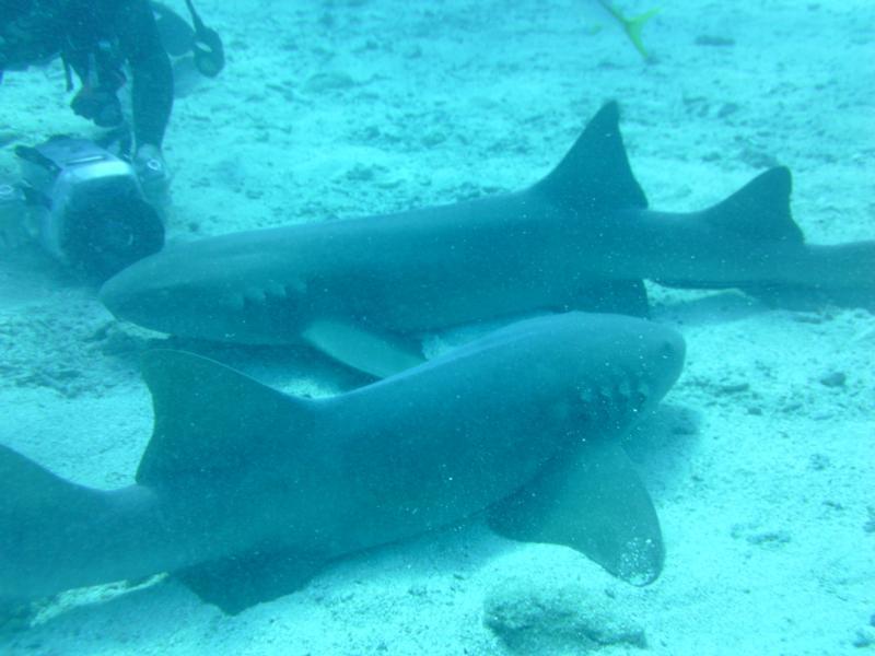 Shark feeding in Key Largo