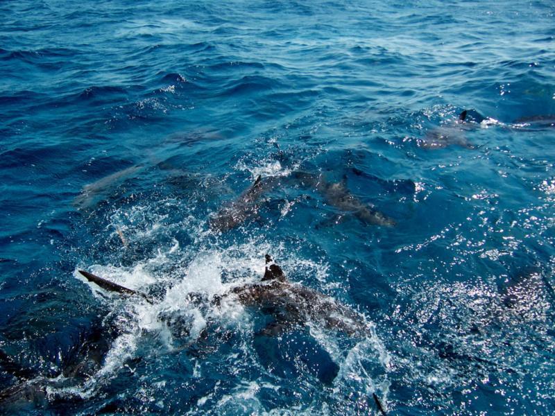 reef sharks, Bahamas