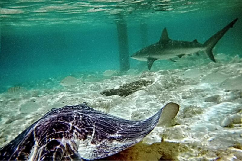 reef shark and ray, Exumas