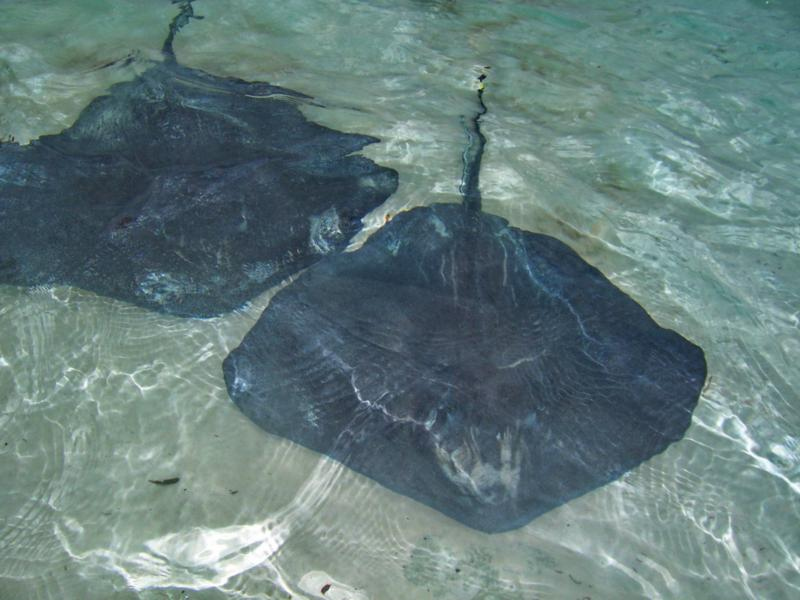 stingrays in shallow water, Bahamas