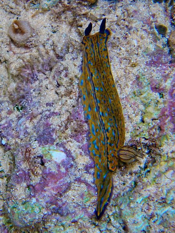 Nudibranch, Bermuda