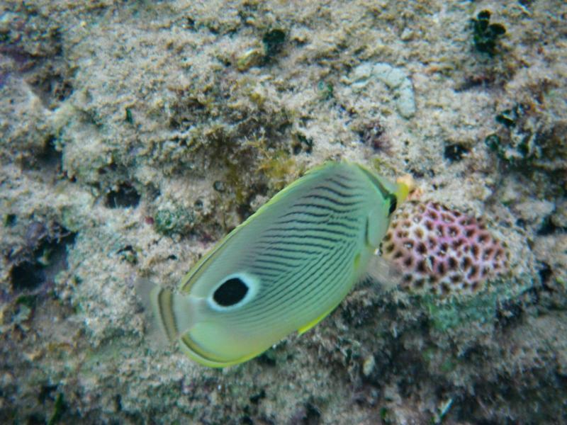 Butterflyfish, Bermuda