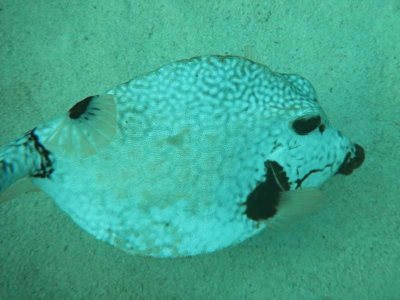 Trunk fish, Bermuda