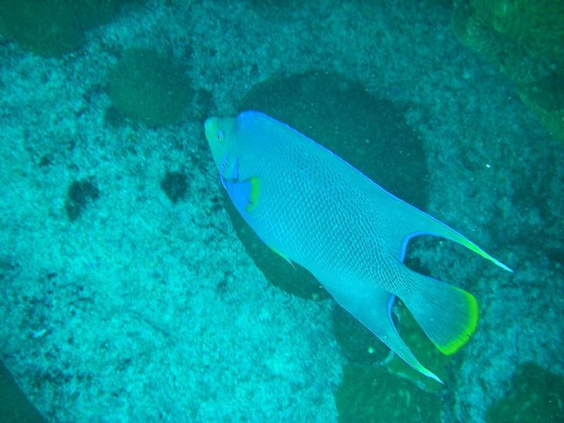 blue angelfish, Bermuda