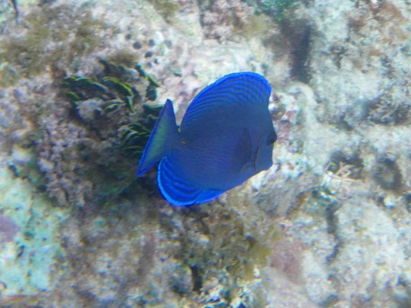 blue tang, St. Martin
