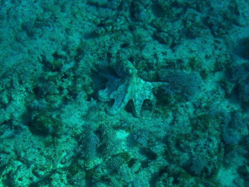 octopus, St. Martin