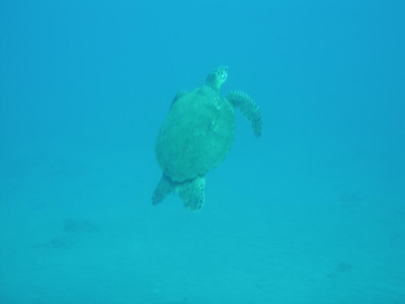 Turtle in turtle Bay, Maui