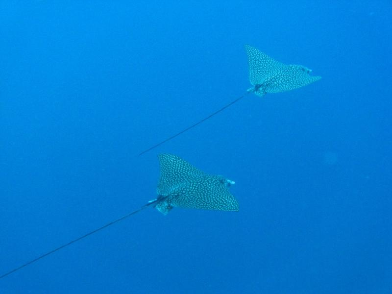 Spotted Eagle Rays cruising around 100' in the blue off Bonaire, I love them!