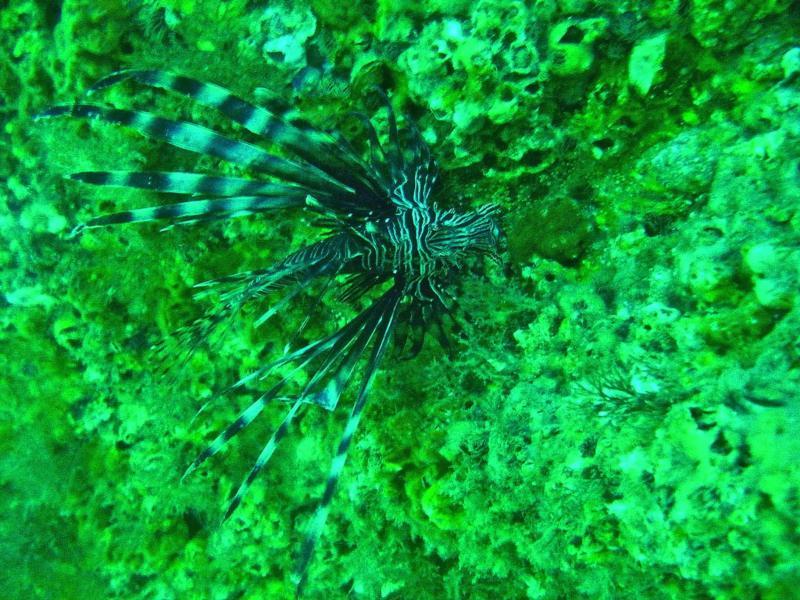 Lion Fish in Destin