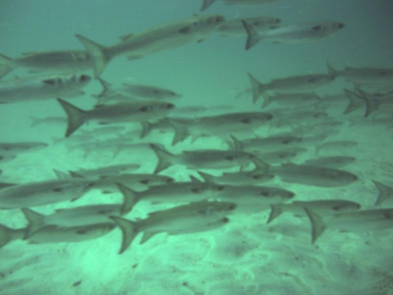 School of fish of the jetties