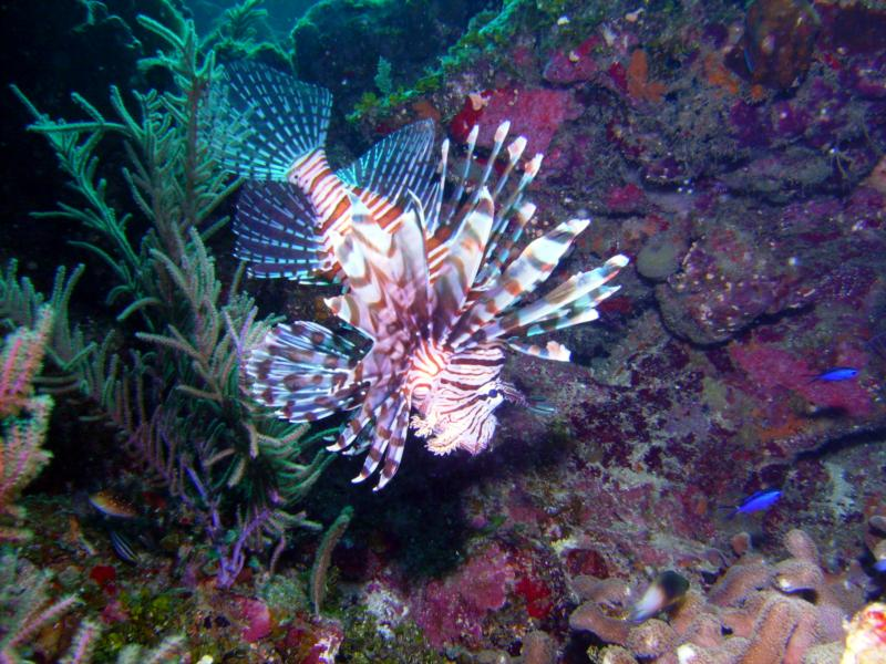 Lion fish - Utila Bay Islands