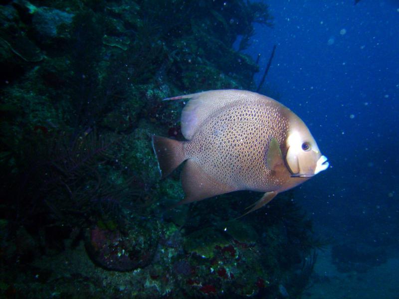 French Angel Fish, Utila Bay Islands