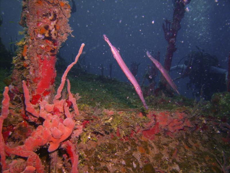 Trumpet Fish - Utila Bay Islands