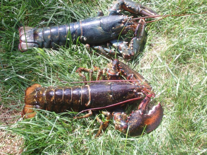 Rob's Blue Lobster - Cape Cod