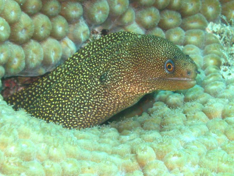 Baby Eel, Key Largo, Fl