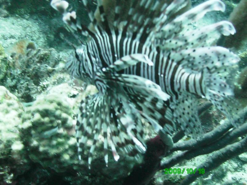 Lion Fish everywhere