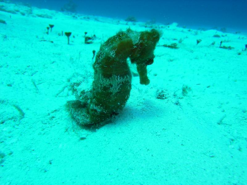 sea horse cozumel