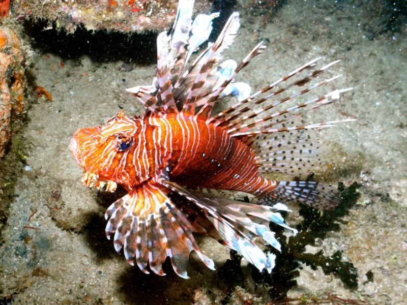 lion fish fiji