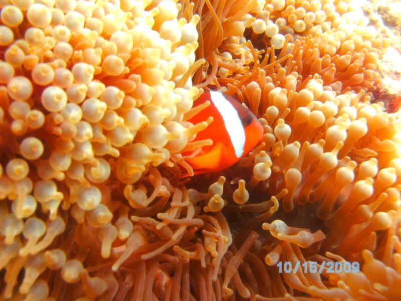 another clown fish in fiji