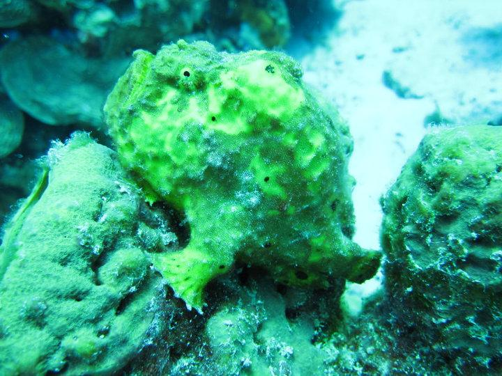 "Yellow Frogfish at ""Just a Nice Dive"""