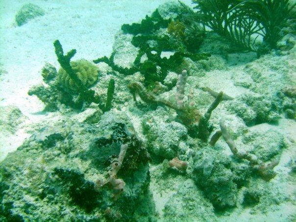 Barbados (Sea Horse)