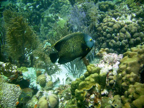 Bonaire (French Angle Fish)