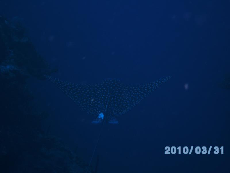 Spotted Eagle Ray #2