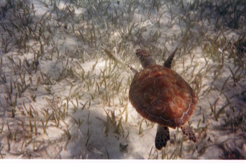 Sea Turtle in Bahamas
