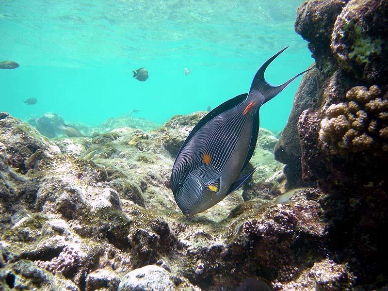 Red Sea Surgeonfish