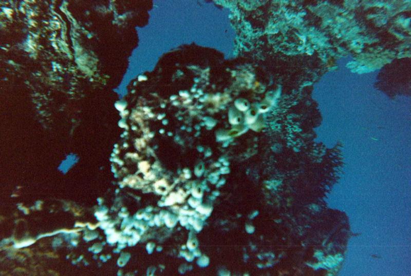 Coral on Fujikawa Maru Mast