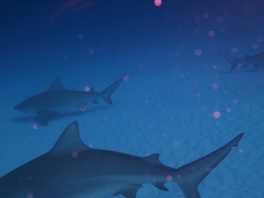 Playa del Carmen Bull sharks