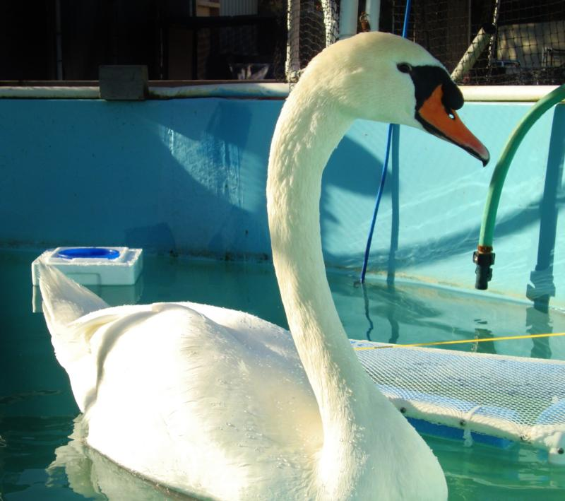 Atascadero Lake swan, indested a lead fishing sinker, rehabilitated and released :)