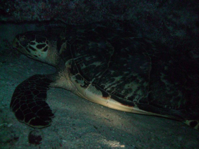 sea turtle, night dive