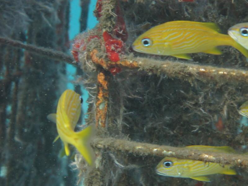 Cute yellow fish (sp.?)