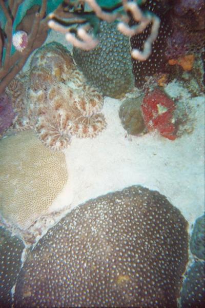Aruba Octopus