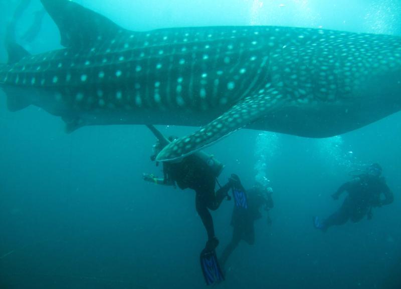 Me under a Whale Shark - Yomitan, Okinawa, Japan