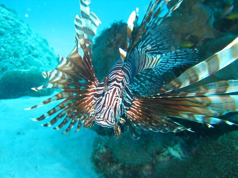 Lionfish of Ieshima