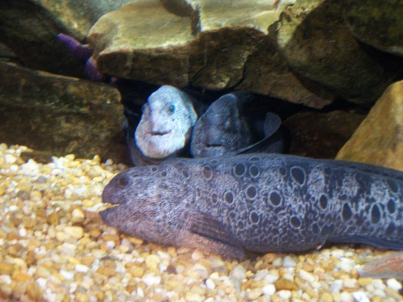 Ga. Aquarium/Wolf eels